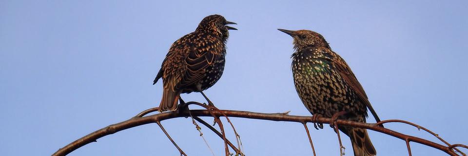 Star Stare Nature Songbird Birds Sparrow Bird
